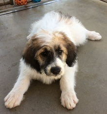 Pyredoodle Puppy For Sale in ANZA, CA, USA