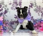 Small #2 Boston Terrier