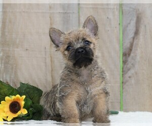 Cairn Terrier Puppy for sale in FREDERICKSBG, OH, USA