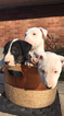 Bull Terrier Puppy For Sale in HICKORY, NC,