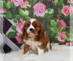 Puppy 8 Cavalier King Charles Spaniel