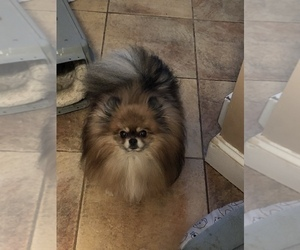 Father of the Pomeranian puppies born on 03/16/2019