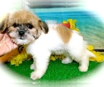 Small #1 Shorkie Tzu