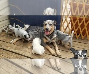Australian Cattle Dog Puppy for sale in CASTALIA, NC, USA