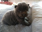 Chow Chow Puppy For Sale in DENVER, CO