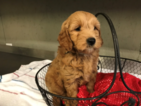 Goldendoodle-Poodle (Miniature) Mix Puppy For Sale in AUSTIN, TX, USA