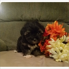 Maltese-Poodle (Toy) Mix Puppy for sale in TUCSON, AZ, USA