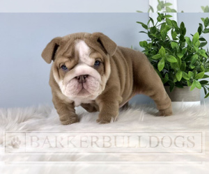 English Bulldog Puppy for sale in KALAMAZOO, MI, USA