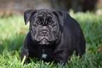 English Bulldogge Puppy For Sale in EUSTIS, FL, USA