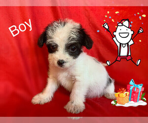 Morkie-Yorkshire Terrier Mix Puppy for sale in SAN FRANCISCO, CA, USA
