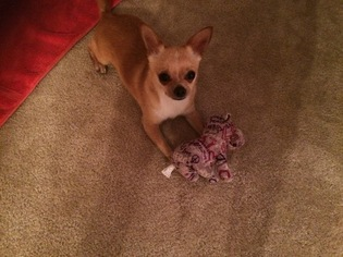 Chihuahua Puppy For Sale in MABLETON, GA