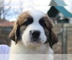 Puppy 5 Great Pyrenees-Saint Bernard Mix
