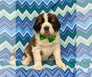 Saint Bernard Puppy for sale in DELTA, PA, USA