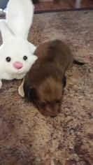 Dachshund Dog For Adoption in PITKIN, LA