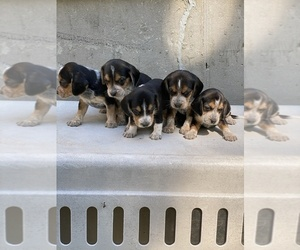 Beagle Puppy for sale in BURLINGTON, MA, USA