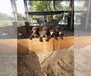 German Shorthaired Lab Puppy for Sale in BAINBRIDGE, Georgia USA