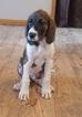 Great Dane-Poodle (Standard) Mix Puppy For Sale in DORR, MI, USA