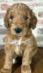 Goldendoodle Puppy For Sale in BRANDON, MS, USA