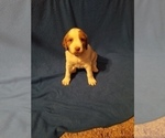 Puppy 4 Brittany