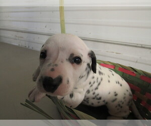 Dalmatian Puppy for sale in MUNCIE, IN, USA