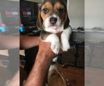 Puppy 5 Beagle