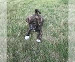 Small #8 English Shepherd-Labrador Retriever Mix