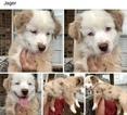 Miniature Australian Shepherd Puppy For Sale in MIDLAND, TX, USA
