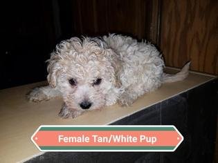 Maltipoo Puppy For Sale in DENVER, CO, USA
