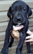 Great Dane Puppy For Sale in CLINTON, MO, USA