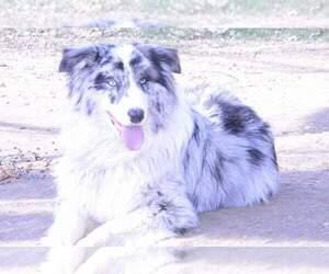 Father of the Australian Shepherd puppies born on 11/10/2020