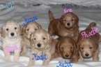 Gorgeous Chunky Miniature Goldendoodle Pups