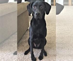 Labrador Retriever-Unknown Mix Dogs for adoption in FRANKLIN, TN, USA