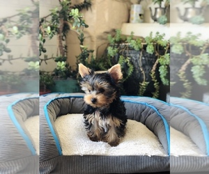 Yorkshire Terrier Puppy for Sale in LOS ANGELES, California USA