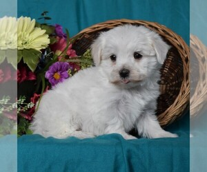 Maltese Puppies For Sale Near Bel Air Maryland Usa Page 1 10