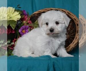 Maltese Puppy for sale in SUNBURY, PA, USA