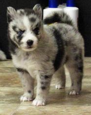 Alaskan Klee Kai Dog for Adoption in SEBRING, Florida USA