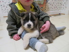 Akita Puppy For Sale in MOUNT SOLON, VA, USA
