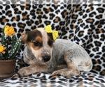 Small #5 Australian Cattle Dog-Jack Russell Terrier Mix