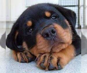 Rottweiler Puppy for sale in ANN ARBOR, MI, USA