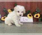 Puppy 1 Bichpoo