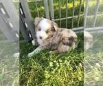 Australian Shepherd Puppy For Sale in ZANESVILLE, OH, USA