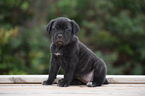 Cane Corso Puppy For Sale in CASHION, OK