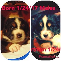 Australian Shepherd Puppy For Sale in MEBANE, NC