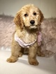 Goldendoodle Puppy For Sale in LAKELAND, FL, USA