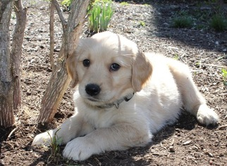 Golden Retriever Puppy for sale in WOOSTER, OH, USA