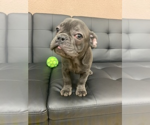 French Bulldog Puppy for sale in VALPARAISO, IN, USA
