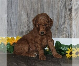 Goldendoodle-Poodle (Standard) Mix Dog for Adoption in HONEY BROOK, Pennsylvania USA