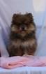 Pomeranian Puppy For Sale in HARRISON, Arkansas,