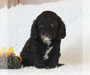 Cavapoo Puppy for sale in NARVON, PA, USA