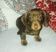Dachshund Puppy For Sale in ROSLINDALE, Massachusetts,